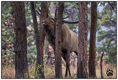 Bull Elk RMNP 092417-0963-W.jpg