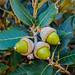 Canyon oak acorns #3 by FotoGrazio