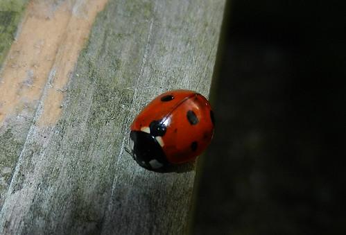 7 spot Ladybird DSCN9117c