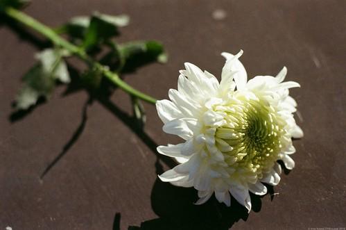 Біла хризантема / White Chrysanthemum.