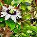 Los cigarrones (Xylocopa mordax) polinizadores de mis flores de parcha (Passiflora edulis). Vean el lomo lleno de polen. El video muestra la función de polinización de los cigarrones: https://www.youtube.com/watch?v=Jc_hpHZtZZw #remmanuelli