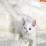 Sapphire, a blue eyed white ragdoll girl for sale