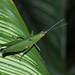 Grasshopper (Unidentified)