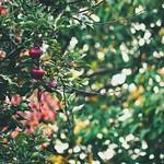 Garden Apple Bokeh  Tarbek - Schleswig-Holstein - Germany