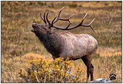 Bull Elk RMNP 092417-1232-W.jpg