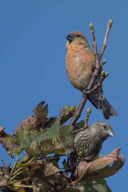 Crossbills: Father and son, or is it??