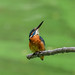 Kingfisher 180924262.jpg