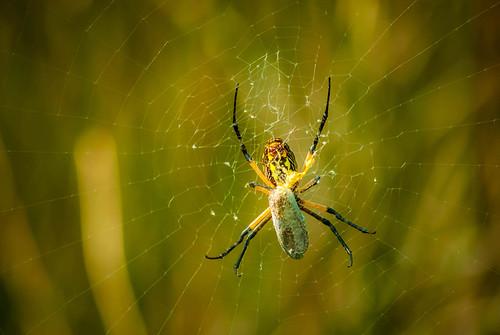 Golden Spider Web
