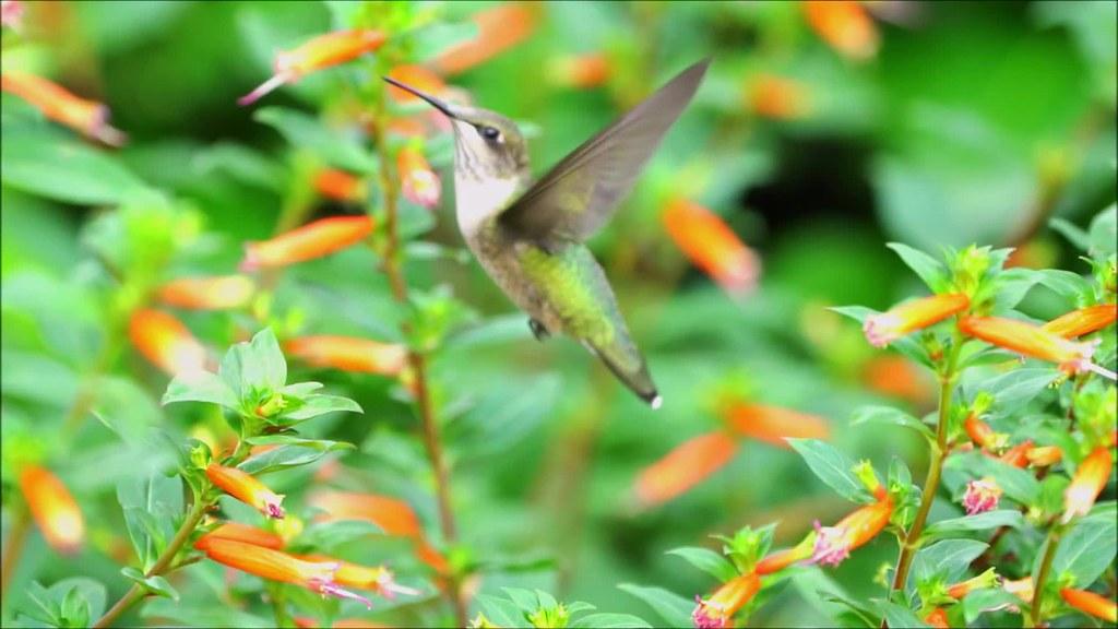 Hummingbird Slow Mo 27 Pt 2 with music