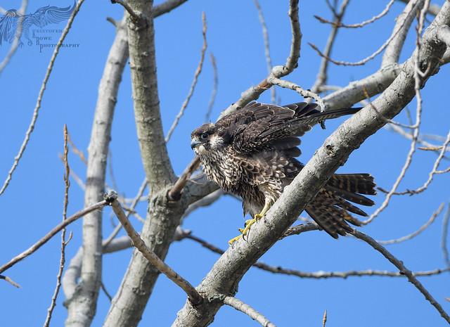 Juvenile Peregrine Falcon 10_16