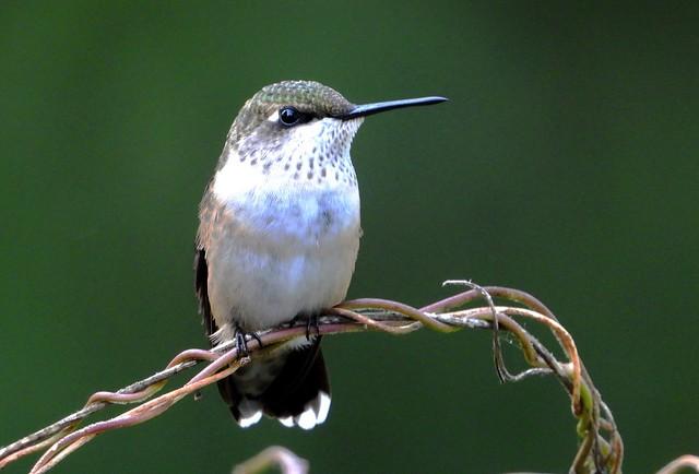 0291e2 hummingbird close-up  **Explore**