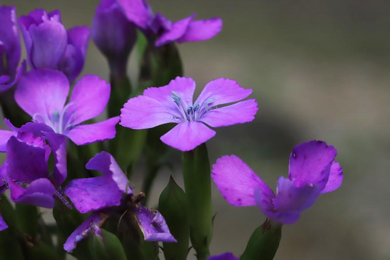 Dianthus japonicus  ハマナデシコ