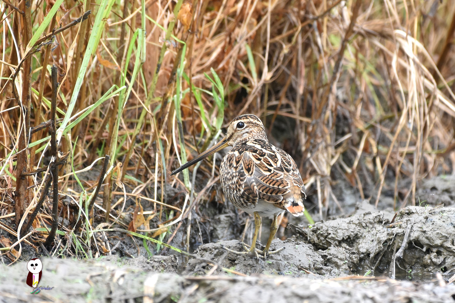 Common_Snipe_7499