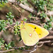 Cloudy Yellow Butterfly