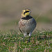 Shorelark 20-10-2018 Kessingland_F8A5720
