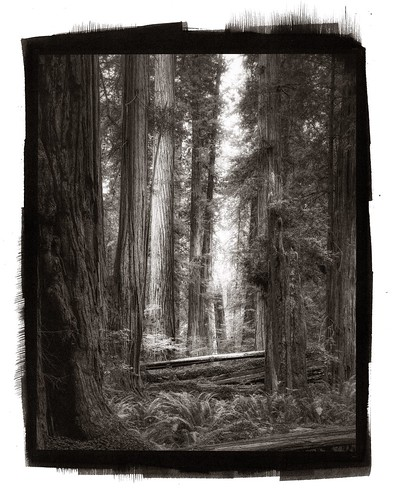 """Platinum Palladium Print Of """"Thick Of Things"""" Stout Grove, Redwood Forest."""