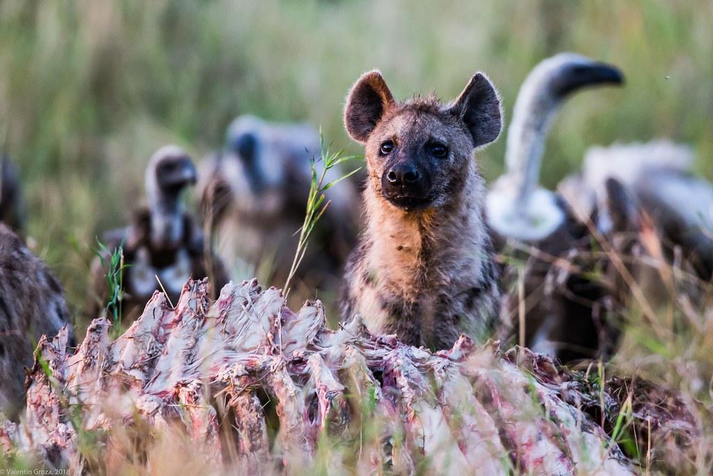 Serengeti_17sep18_06_hiena2