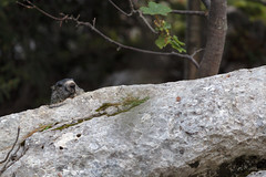 Marmotte des Alpes (Marmota marmota) - Photo of Saint-Aupre