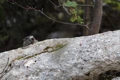 Marmotte des Alpes (Marmota marmota) - Photo of Saint-Laurent-du-Pont
