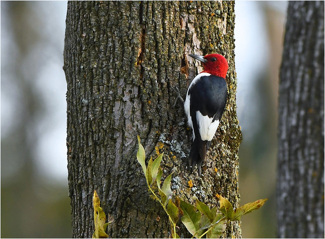 Red Headed Woodpecker, Nikon D500, AF-S VR Nikkor 300mm f/2.8G IF-ED