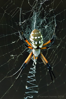 BLACK-AND-YELLOW ARGIOPE 14