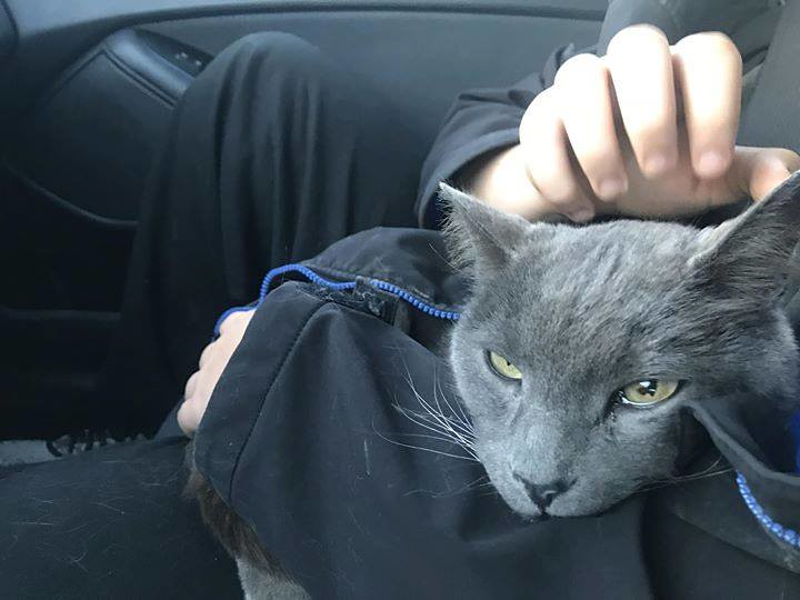 FOUND - grey DSH cat  #Taradale  Now at McKnight 24 hour a