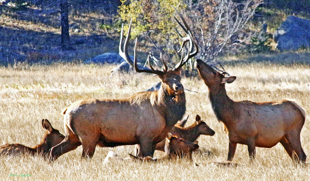 Rocky-Elk bull and cow