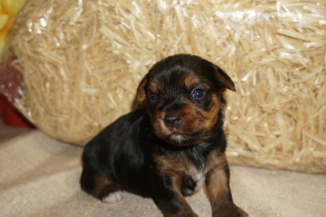 1 Shaggy 1.6 lbs 3 Wks Old (14)