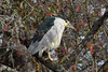 Black-crowned Night-Heron Nycticorax nycticorax by Steve Owst Photography (www.steveowst.com)