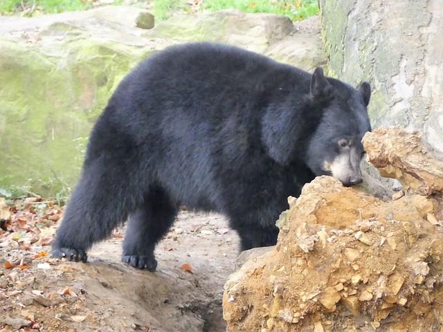 Schwarzbär, Zoo Osnabrück