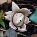 Autumn fungus: earth star, Hawthorn Wood