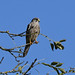 Kestrel at Chesworth Farm, Horsham