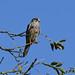 Kestrel at Chesworth Farm, Horsham