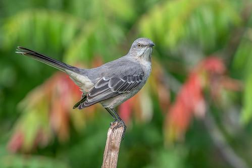 Northern Mockingbird.