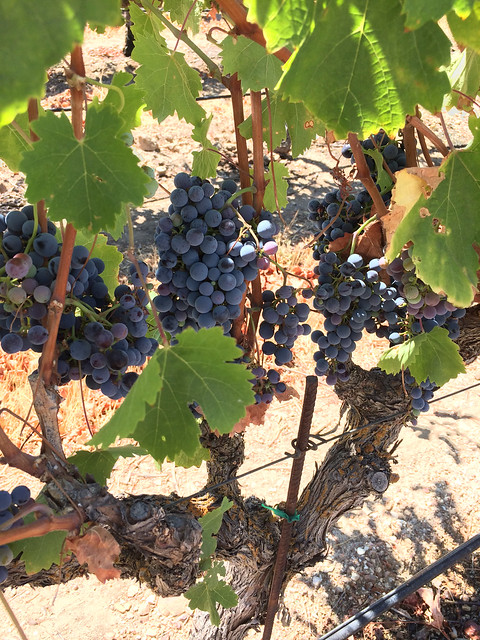 cabernet franc grapes at Plummer Vineyard, Dracaena Wines, Paso Robles, CA