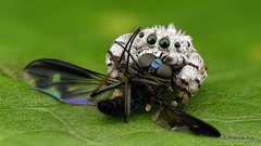 Little Jumping Spider, Beata sp., Salticidae with long-legged fly, Dolichopodidae