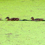 Line of ducks in the canal