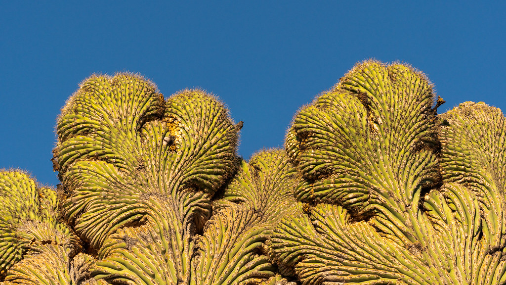 A close-up view of the top of a double crested saguaro along the Coyote Canyon Trail in McDowell Sonoran Preserve