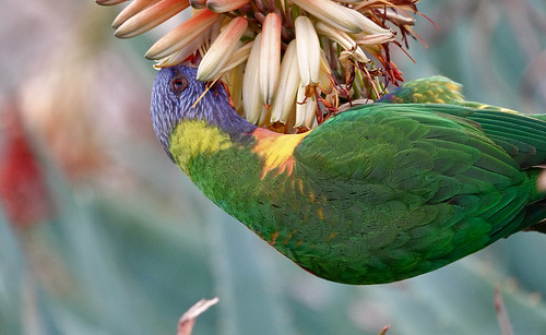 nature bird parrot rainbowlorikeet colours flower adelaidebotanicalgarden southaustralia feeding nectar outdoors ngc npc