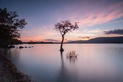 Lone tree at Milarrochy Bay