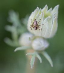 Spider on flannel flower