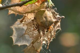 Bottlecap-size Orb-Weaver Spider, maybe Araneus gemma