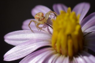 Crab spider on a California Aster flower