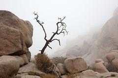 Tree at Barker's Dam, Joshua Tree National Park