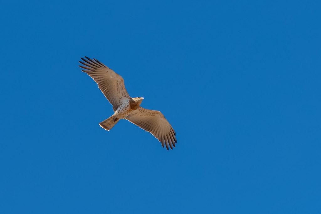 Short-toed Eagle - Águia-cobreira - Circaetus gallicus
