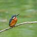 Kingfisher 181020044.jpg