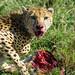 Cheetah Kill - Masai Mara