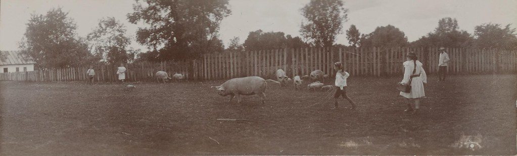 Лили, Ирина и Сергей Шереметевы гоняют свиней