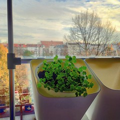 Prototyping indoor winter salad garden. Thanks @car_li_e for the 3D printed joint! Also @ilan_katin for decommissioned art installation tubes. Pots are #ikeahack and organic rucola seeds from #BioNatur came all the way from Brazil. :green_heart::green_hea