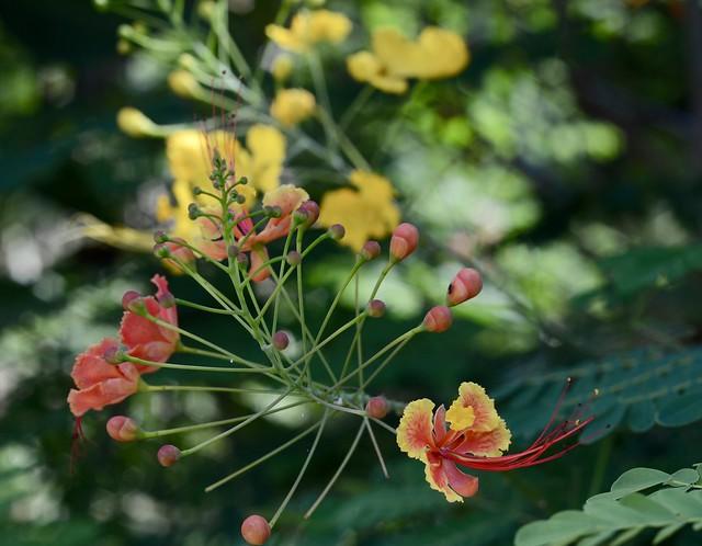Bohol bloom, Nikon D7000, AF Nikkor 50mm f/1.8
